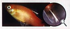 лечение болезней аквариумных рыб