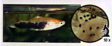 болезни и лечение аквариумных рыбок