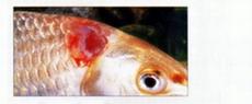лечение аквариумных рыб болезни