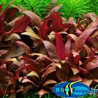 меристемные живые аквариумные растения