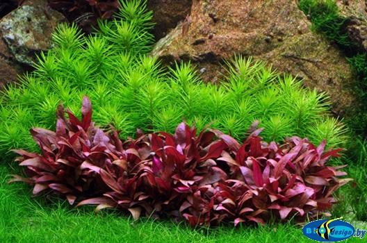Аквариумное растение Альтернантера Рейнека мини (Alternanthera reineckii mini)