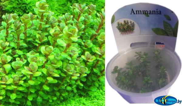 Аквариумное растение АММАНИЯ БОНСАЙ (AMMANIA SP BONSAI)