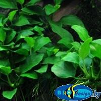 Аквариумное растение АНУБИАС БАРТЕРА ПЕТИТ (ANUBIAS BARTERI PETITE)