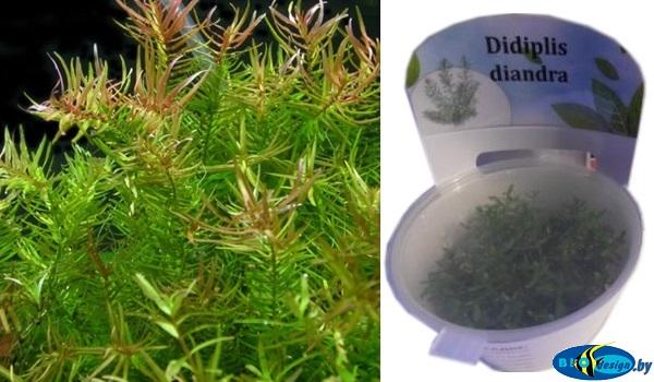 Аквариумное растение БУТЫРЛАК ДВУХТЫЧИНКОВЫЙ (DIDIPLIS DIANTRA)