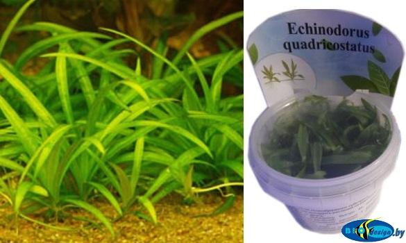 Аквариумное растение ЭХИНОДОРУС ЧЕТЫРЕХРЕБЕРНЫЙ (ECHINODORUS QUADRICOSTATUS)