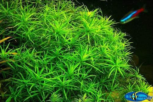 Аквариумное растение ГЕТЕРАНТЕРА ОСТРОЛИСТНАЯ (HETERANTCERA ZOSTERIFOLIA)