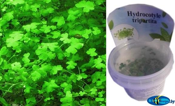 Аквариумное растение ГИДРОКОТИЛА ТРИПАРТИТА (HYDROCOTYLE TRIPARTITA)