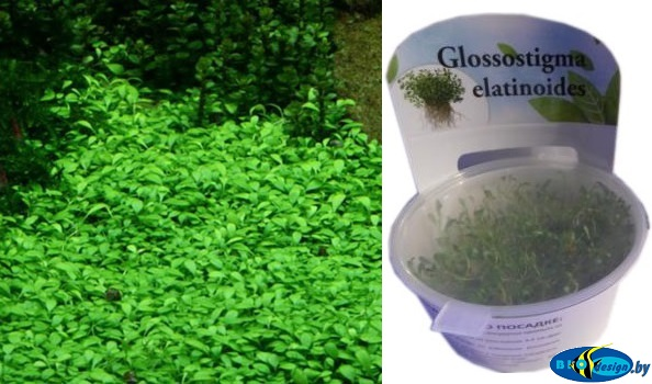 Аквариумное растение ГЛОССОСТИГМА ПОВОЙНИЧКОВАЯ (GLOSSOSTIGMA ELATINOIDES)