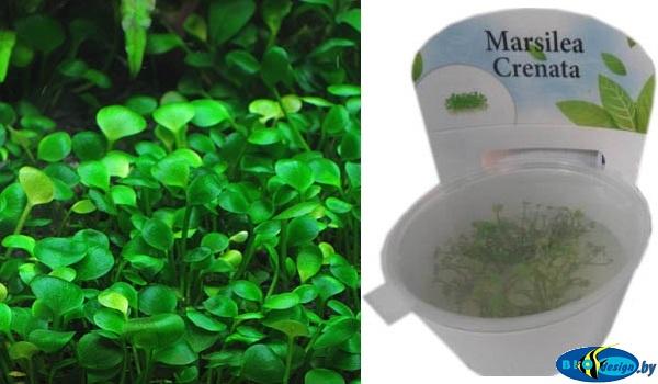 Аквариумное растение МАРСИЛИЯ ГОРОДЧАТАЯ (MARSILEA CRENATA)