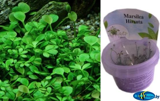 Аквариумное растение МАРСИЛИЯ ЖЕСТКОВОЛОСИСТАЯ (MARSILEA HIRSUTA)