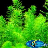 меристемные живые растения для аквариума