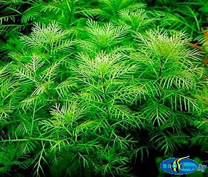 Аквариумное растение ПЕРИСТОЛИСТНИК МАТОГРОССКИЙ (MYRIOPHYLLUM MATTOGROSSENSE)