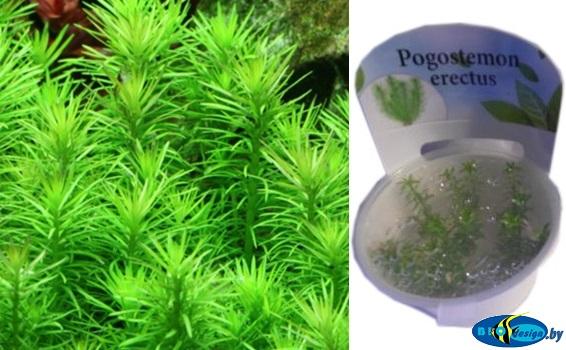 Аквариумное растение ПОГОСТЕМОН ПРЯМОЙ (POGOSTEMON ERECTUS)