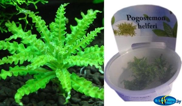 Аквариумное растение ПОГОСТЕМОН ХЕЛФЕРА (POGOSTEMON HELFERI)