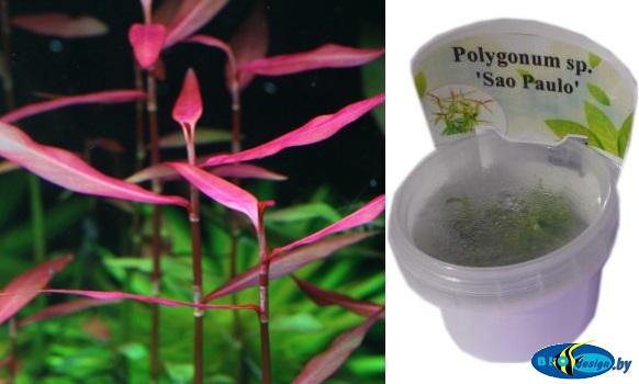 Аквариумное растение ПОЛИГОНИУМ (POLYGONUM SP. SAO PAOLO)