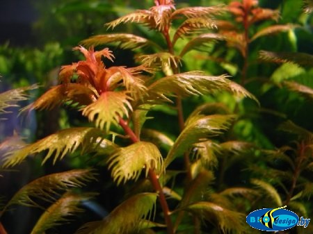 Аквариумное растение ПРОЗЕРПИНАКА БОЛОТНАЯ (PROSERPINACA PALUSTRIS)