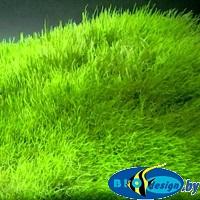 Аквариумное растение ПУЗЫРЧАТКА ТРАВОЛИСТНАЯ (UTRICULARIA GRAMINIFOLIA)