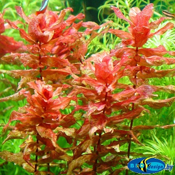 Аквариумное растение РОТАЛА КРУПНОТЫЧИНКОВАЯ (ROTALA MACRANDRA)