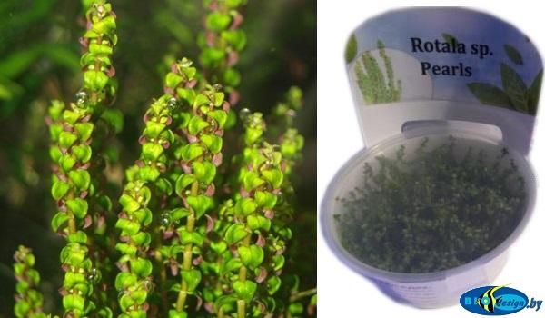 Аквариумное растение РОТАЛА ПЕРЛС (ROTALA SP. PEARL)