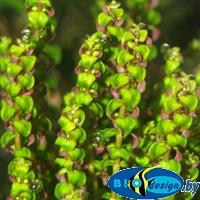 живые меристемные аквариумные растения