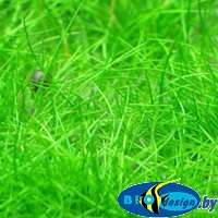 Аквариумное растение СИТНЯГ БОЛОТНЫЙ МИНИ (ELEOCHARIS SP. MINI)