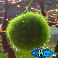 Кладофора — шаровидные водоросли