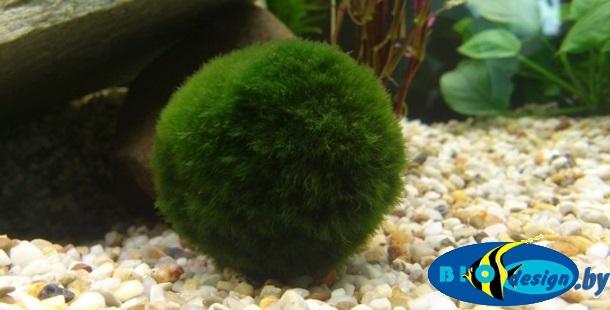 Кладофора - шаровидные водоросли