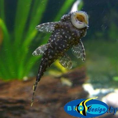 Креветки, раки, улитки, черепахи, аквариумные рыбки купить в Минске магазин