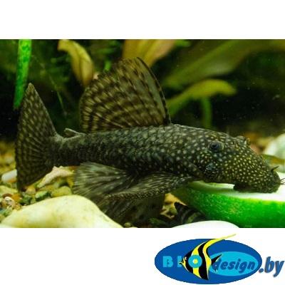 сомик Аквариумная рыбка: анциструс обыкновенный купить
