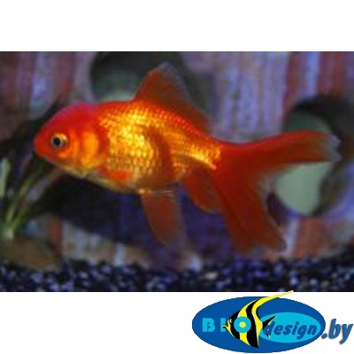 Аквариумная рыбка: оранда красная купить