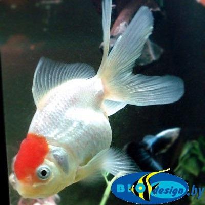 Аквариумная рыбка: оранда красная шапочка купить