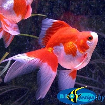 Аквариумная рыбка: риукин красно-белый купить