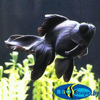 Аквариумная рыбка: телескоп черный купить