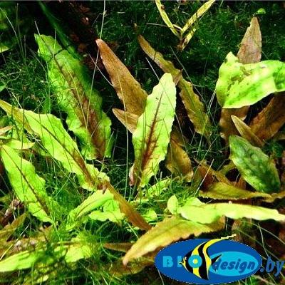 Аквариумное растение КРИПТОКОРИНА ВЕНДТА ЗЕЛЕНЫЙ ГЕККОН (CRYPTOCORYNE WENDTII GREEN GECKO)