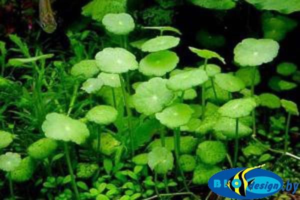 Аквариумное растение ГИДРОКОТИЛА ВЕРТИКАЛЬНАЯ (HYDROCOTYLE VERTICILLATA)