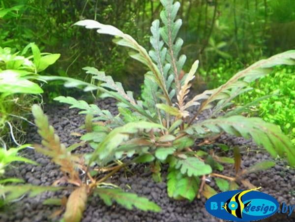 Аквариумное растение ГИГРОФИЛА ПИННАТИФИДА (HYGROPHILA PINNATIFIDA)