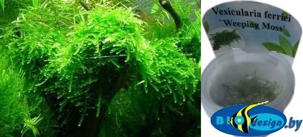 Аквариумное растение МОХ ПЛАЧУЩИЙ (WEEPING MOSS)
