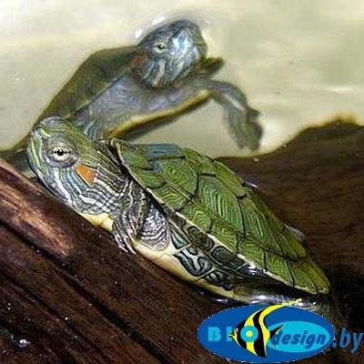 Черепаха красноухая Trachemys scripta elegans