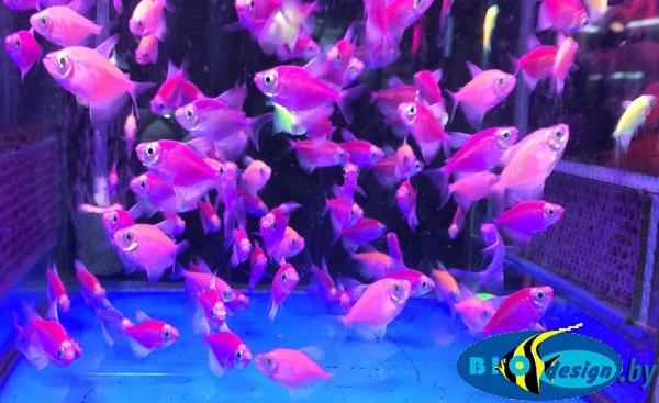 Аквариумная рыбка: глофиш тернеция (GloFish) 6 шт. (светящаяся рыбка)