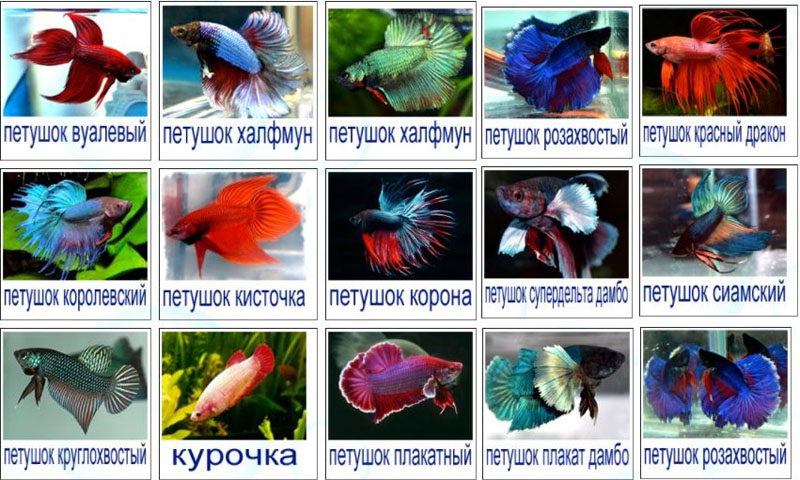 Аквариумная рыбка: петушок бойцовый купить в Минске