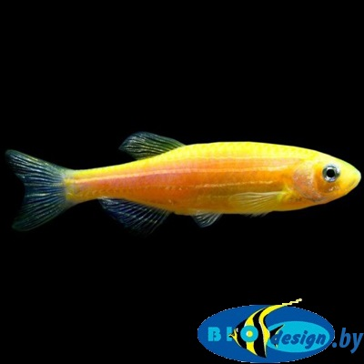 Данио Глофиш (Glofish-orange) 8 шт.