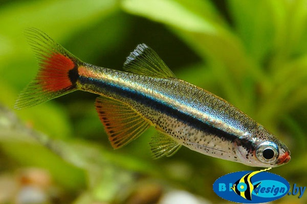 Аквариумная рыбка Кардинал (лат. Tanichthys albonubes) 2-3 см 8 шт.