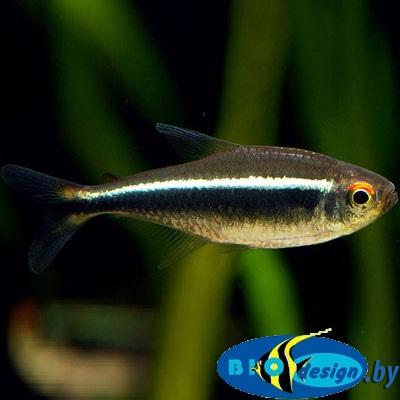 Аквариумная рыбка Неон черный (Hyphessobrycon herbertaxelrodi) 2-3 см 8 шт.