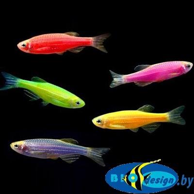 Светящиеся Данио Глофиш (GloFish) 8 шт. ассорти