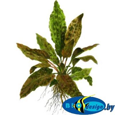 Аквариумное растение КРИПТОКОРИНА ВЕНДТА ТРОПИКА (CRYPTOCORYNE WENDTII TROPICA)