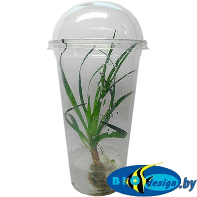 Аквариумное растение MAXI Эриокаулон Вьетнам (Eriocaulon Vietnam)