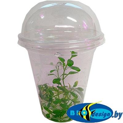 Аквариумное растение MAXI Глоссостигма повойничковая (Glossostigma elatinoides)