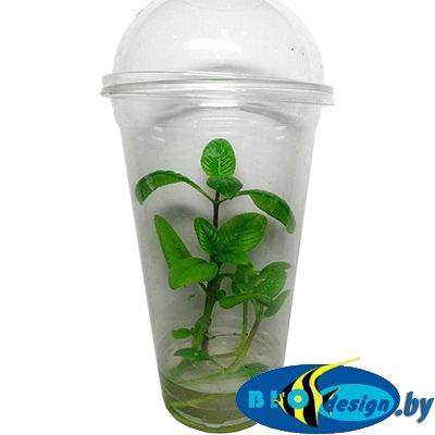 Аквариумное растение MAXI Лимнофила Ругоза (Limnophila rugosa)