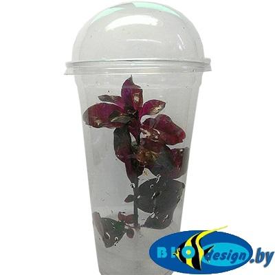 Аквариумное растение MAXI Людвигия рубин (Ludwigia Repens Rubin)