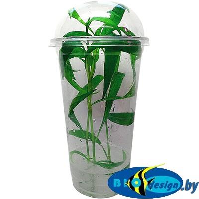 Аквариумное растение MAXI Персикария, Горец перечновидный (Persicaria hydropiperoides)